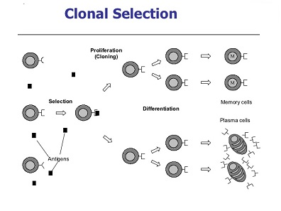 انتخاب کلونی (Clonal Selection)