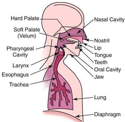 اندام های داخلی دخیل در گفتار انسان
